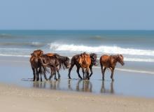 Wild horse harem Corolla