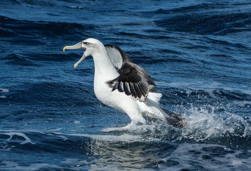 Incoming White-capped albatross