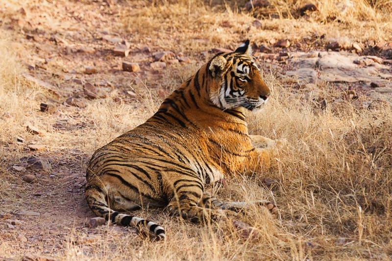 Tigress resting after mud bath