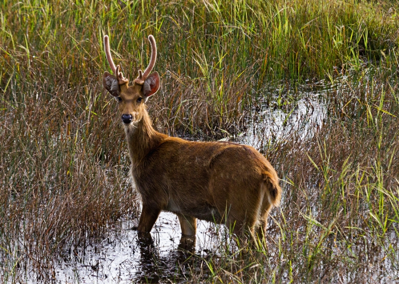 Juvenile swamp deer