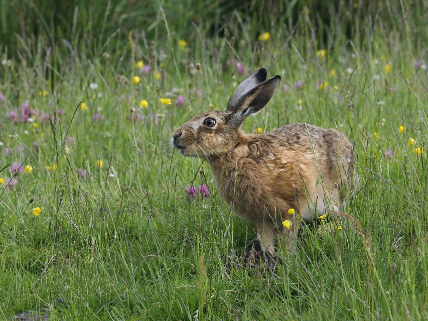 Brown-Hare-2-853x640.jpg